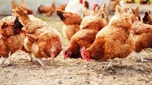 Kỹ thuật chăm sóc gà ta thả vườn