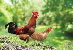 Hướng dẫn cách chọn gà ta ngon, chắc thịt, thơm, gà không có mỡ bụng