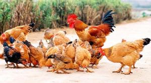Phân biệt gà ta thả vườn và gà công nghiệp